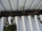 Leaves and small trees in the guttering
